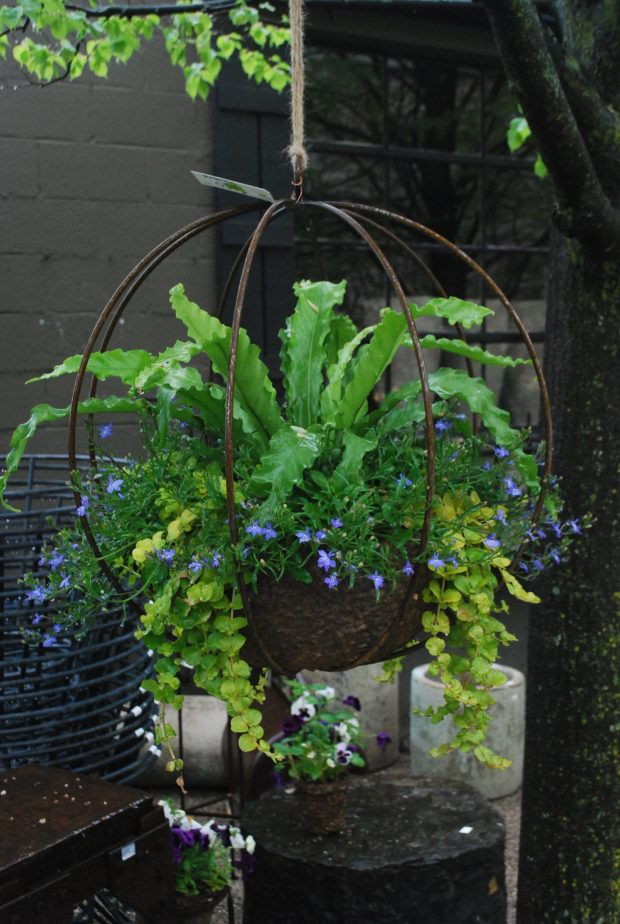 Bird's nest fern, lobelia, and creeping jenny in one of his grow spheres.