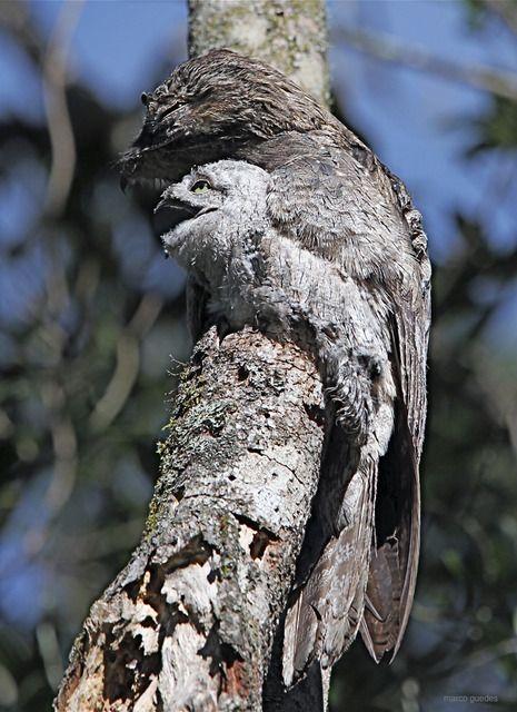 Nyctibius griseus - Urutau (mãe-da-lua)  como pode um bicho tão feio ser tão simpático? pena que não cantam mais por aqui...