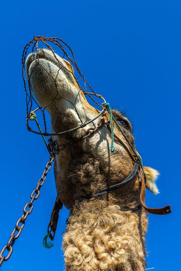 Potrait eines Kamel mit Maulkorb / Potrait of a Camel with muzzle