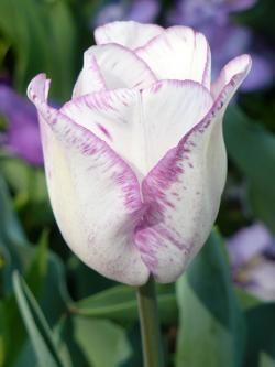 tulip, white and purple, spring