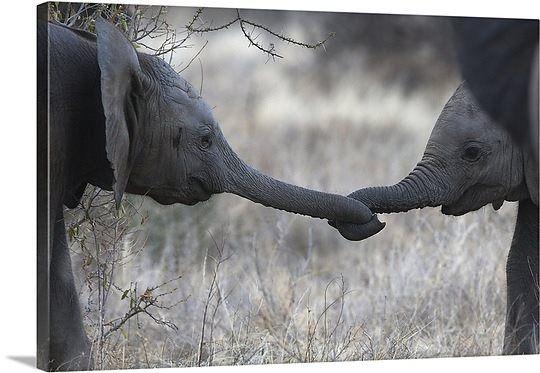 Baby Elephants Holding Trunks