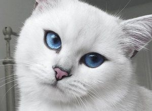 Coby Cat Pretty Blue Eyes Instagram