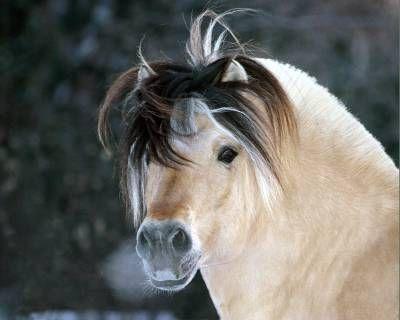 Alles over het Fjordenpaard. - Plazilla.com