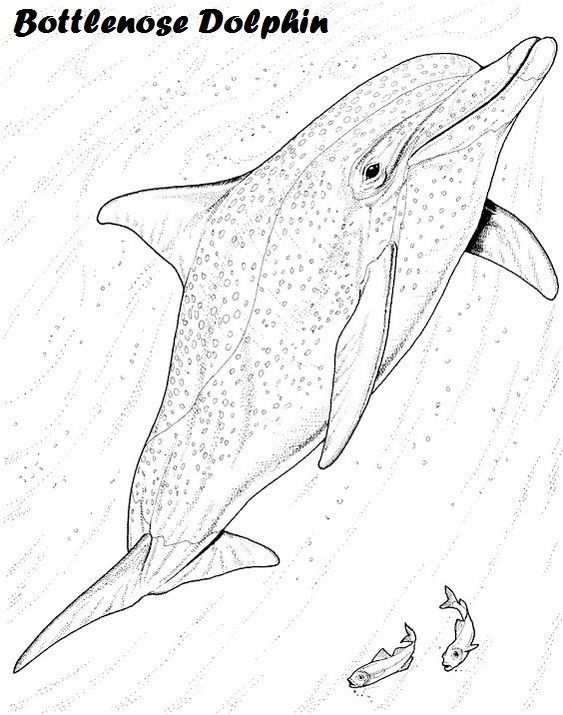 417 best images about art coloring pages designs on for Bottlenose dolphin coloring page