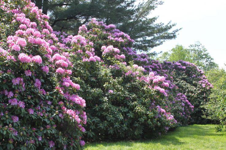 Rhododendron | Gammon's Garden Center & Landscape Nursery