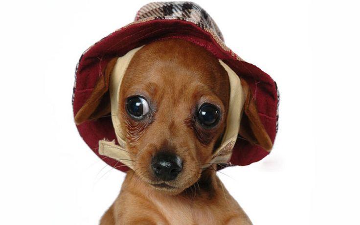 cute+puppies | Cute Puppy - Puppies Wallpaper (13379758) - Fanpop fanclubs