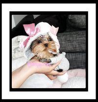Tea Cup and Micro Puppies | Portfolio Categories | Tea Cup Yorkies | Tea Cup Yorkies fo sale