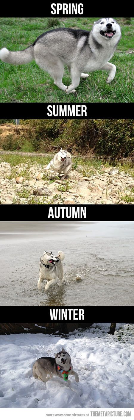 Husky during the seasons… Yep. Huskies have the most amazing zest for life!