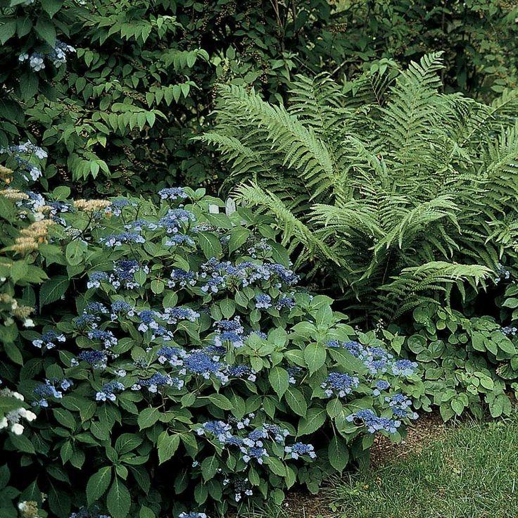 Hydrangea serrata 'Blue Billow' (With images) Hydrangea