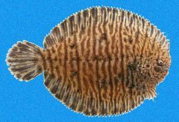 Achirus scutum, the network sole, is a sole of the genus Achirus native to the eastern Pacific from the tip of Baja California and the southeastern Gulf of California to northern Peru. This demersal species growth up to 28 cm (