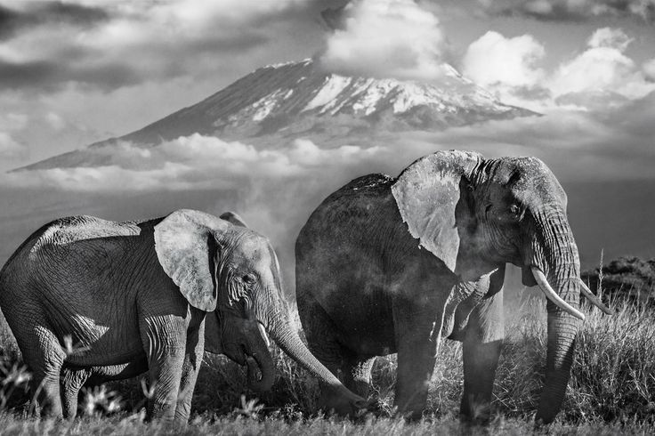 "David Yarrow | Kilimanjaro  315gsm Hahnemühle photo rag Baryta paper  Standard 37 x 55"" Unframed// 52 x 50"" Framed Editions of 12  Large 56 x 83"" Unframed// 71 x 98"" Framed Editions of 12  For questions or prices please contact us at info@igifa.com      IGI FINE ART"