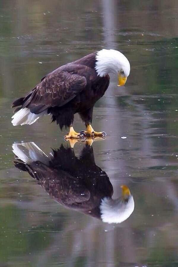 Bald eagle                                                                                                                                                     More