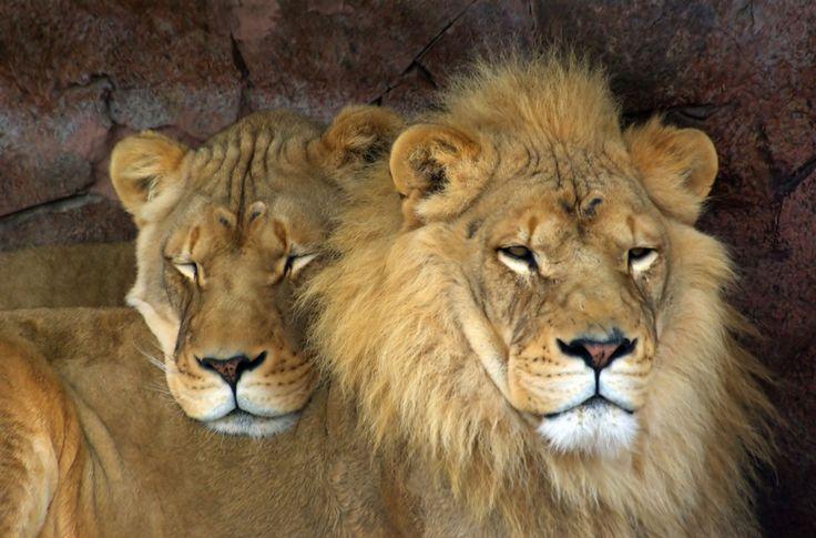 Afrika verliert seine Löwen! Innerhalb von vier Jahrzehnten ist ihre Population um 90 Prozent eingebrochen. Ihr Lebensraum wird zerstört und in immer kleinere Reste zerteilt. Trophäenjäger schießen tausende Tiere. Bitte fordern Sie, den Lebensraum der Tiere besser zu schützen.