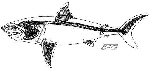 great white shark skeleton structure