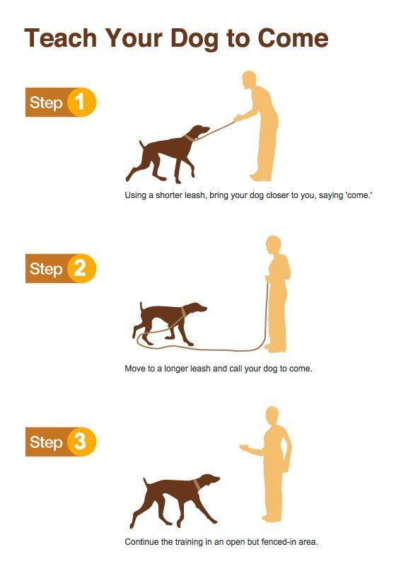 Apprendre à son chien à venir vers soi en 3 étapes. N'oubliez pas de bien féliciter votre chien (friandise a l'appui si besoin) !