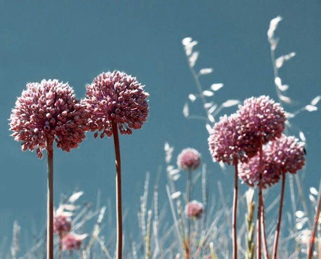 Allium: un fiore in cucina http://www.foodconfidential.it/allium-un-fiore-in-cucina/