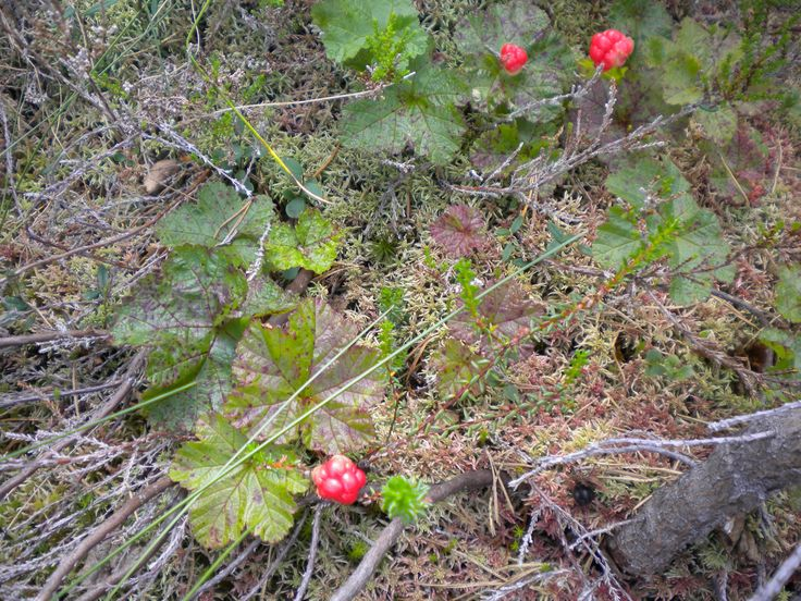 Cloudberries grow above the treeline on Skrede Mountain