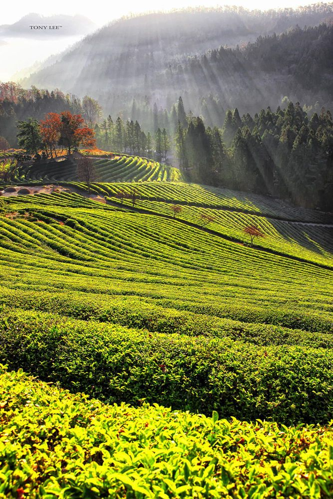 Boseong tea fields, South Korea. #TeaField #TeaCultivation