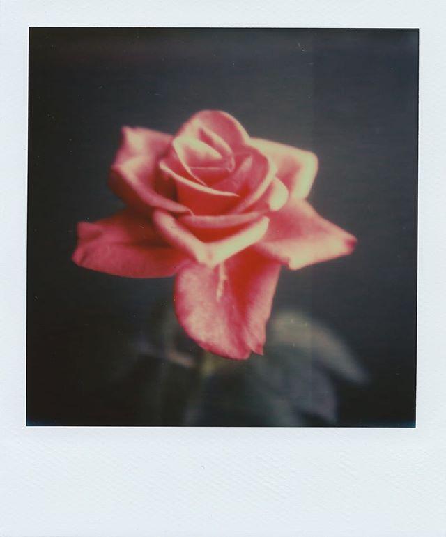 rose  #film #polaroid #instant #instantfilm #Beliveinfilm #filmcamera #analog #filmphoto #lovefilm #impossible #impossiblefilm #sx70 #polaroidsx70 #impossibleproject #analogphotography #filmcommunity  #shootfilm #flower #rose