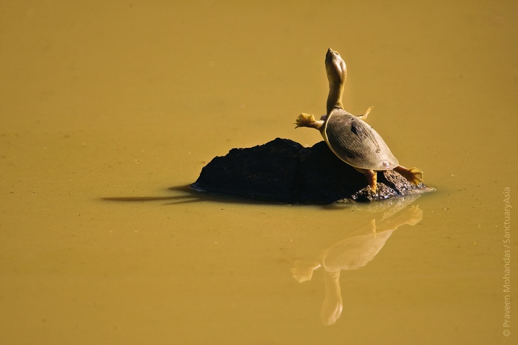 Softshell turtle soaking up the sun on a cold winter day - Tadoba Tiger Reserve. Image: Praveen Mohandas/Sanctuary Awards 2010.