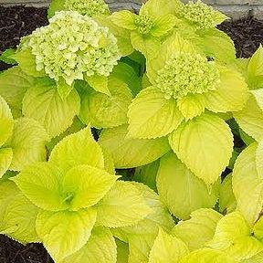 Lemon Daddy Hydrangea: Mophead Flowers, Flowers Hydrangeas, Blue Flowers, Hydrangeas Mac, Lemon Daddy, Daddy Hydrangeas, Shades Gardens, Lemon Yellow, Hydrangeas Lemon
