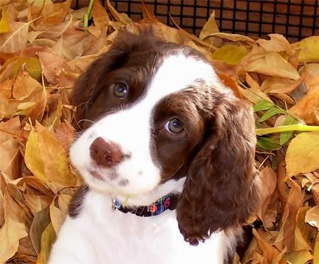 English Springer Spaniel puppy. I had two of these when I was little. I loved them!