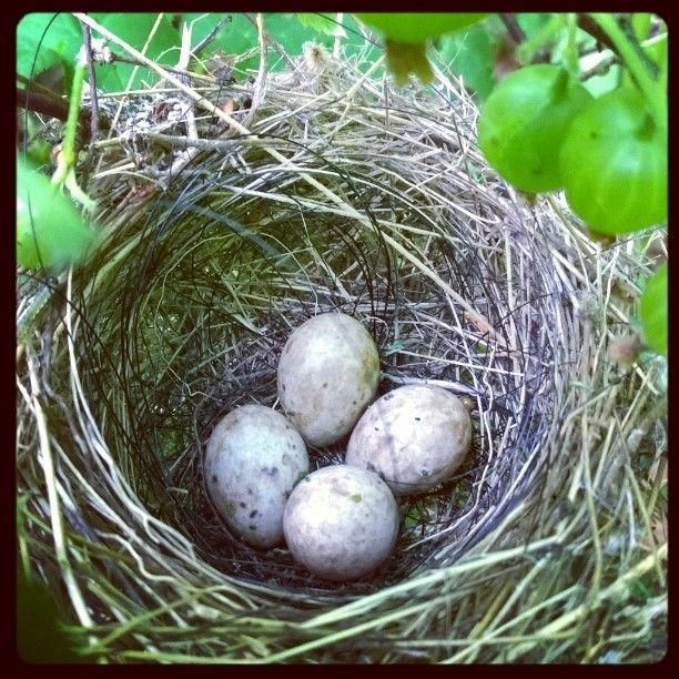 Den fineste lillebitte fuglerede midt inde i en af mine stikkelsbærbuske...