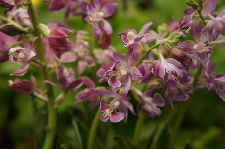 Purple/pink Calanthe variety. #garden