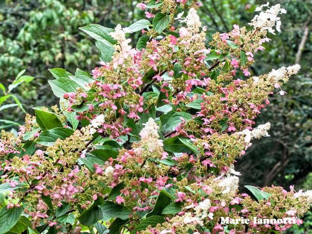 How and When to Prune Different Kinds of Hydrangeas