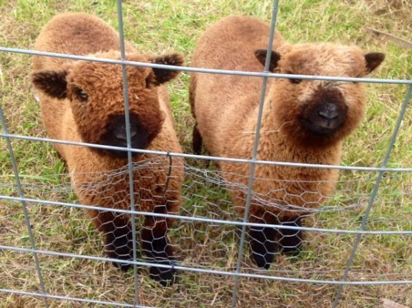 Chocolate colored Babydoll sheep