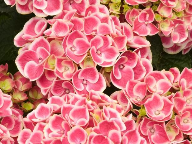 Beautiful 'Monrey' has deep pink, mophead-type flowers edged in white. Use it in containers, woodland gardens or in the foreground of borders. It needs filtered sun, constantly moist soil and is hardy in zones 7 to 9.