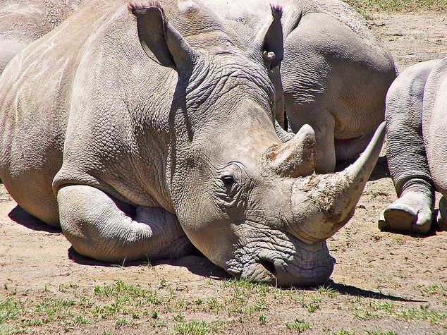 The rhinoceros spiritual animal totem is thought to be a symbol of judgement.