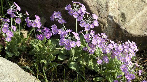 Die kleinwüchsigen Stauden stammen aus dem Hochgebirge und werden auch Steingartenpflanzen genannt. Sie sehen in Gruppen gepflanzt wunderschön aus und sind relativ anspruchslos.