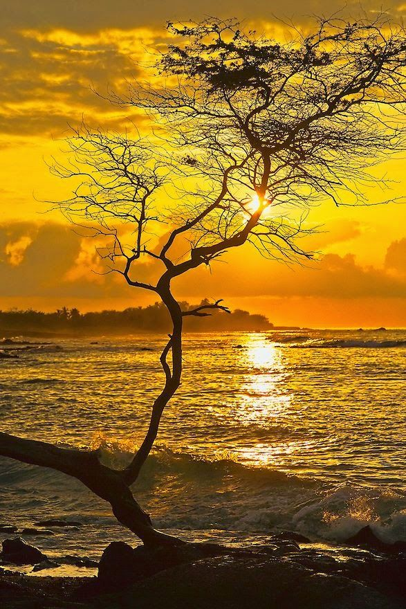 Sunset in Koa tree branch - Hawai