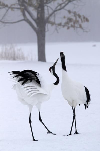 The cranes dance... never underestimate the need for romance.