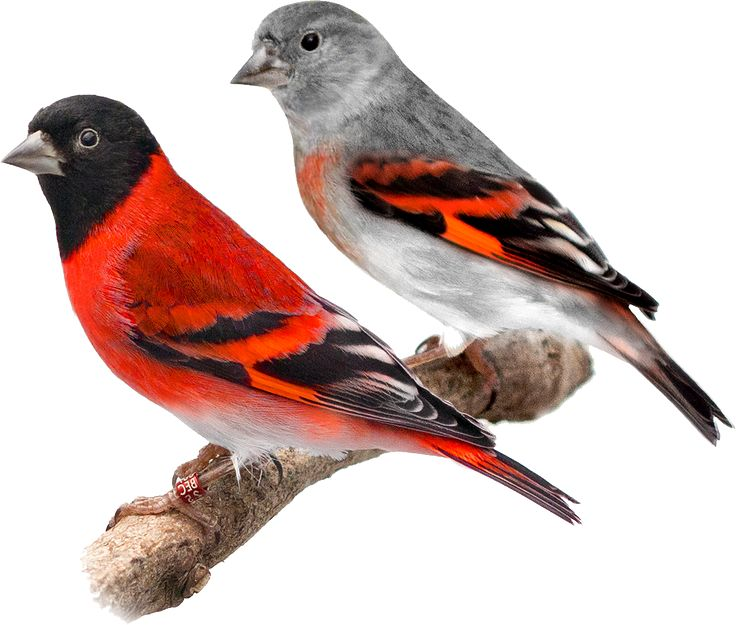 Red Siskin (Spinus cucullatus)  10 cm  South America  ??HAB??  ??EAT??
