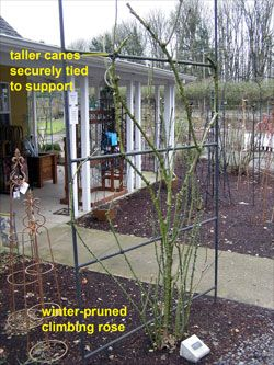 Taller canes securely tied to support