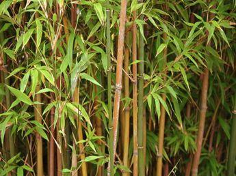 Cool Bambus Pflege f r Ihren Garten