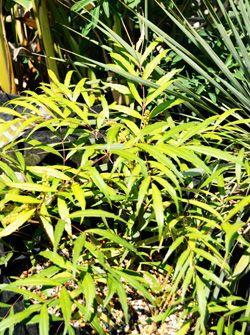 乙庭定番!照りのある常緑の細葉がさまざまな植栽によく似合い、新葉が明るい黄金色を呈し美しいヒイラギナンテン業平の和名でも知られるマホニア コンフューサのたいへんレア魅惑的な黄金葉品種です。マホニア コ…