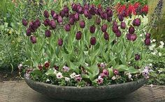 Tulips in a container - How to grow tulips