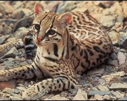 Protect Endangered Ocelot from Copper Mining in Arizona - The Petition Site