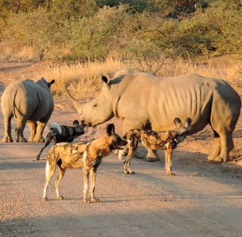 Photo of black rhino and wild dogs