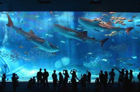 """Questo impressionante e meraviglioso video è stato girato al Churaumi Aquarium di Okinawa, in Giappone. La vasca principale, chiamata il """"mare di Kuroshio"""" contiene 7500 metri cubi di acqua ed è contenuta dal secondo pannello di vetro acrilico più grosso del mondo, con i suoi 8,2 metri di altezza, 22.5 metri di lunghezza e 60 centimetri di spessore. Tra le molte specie marine in questa vasca spiccano gli squali balena (che superano gli 8 metri di lunghezza) e le bellissime mante……"""