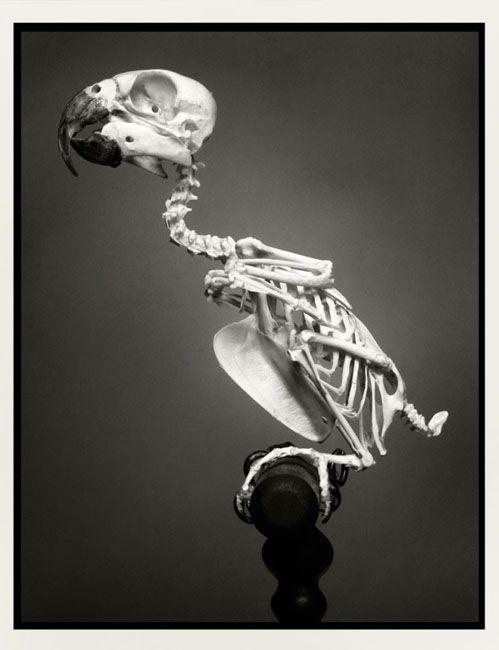 parrot skeleton