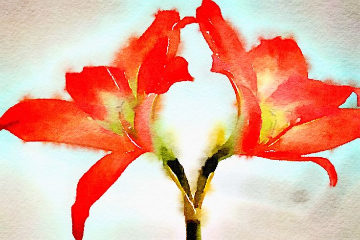 AMARYLLIS by CRussellPhotography on Etsy