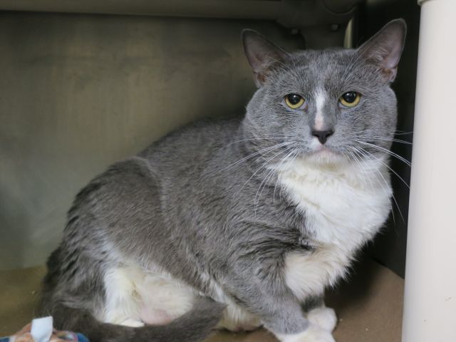 """SPARKY - A1122007 - - Manhattan  *** TO BE DESTROYED 08/22/17 *** Chunky Monkey Kitty boy Sparky want to make muffins for you @MACC. 6 year old Sparky lost his home when his owner brought him in for """"personal problems""""…. he is hoping someone will love a big gray boy and adopt him asap!! -  Click for info & Current Status: http://nyccats.urgentpodr.org/sparky-a1122007/"""