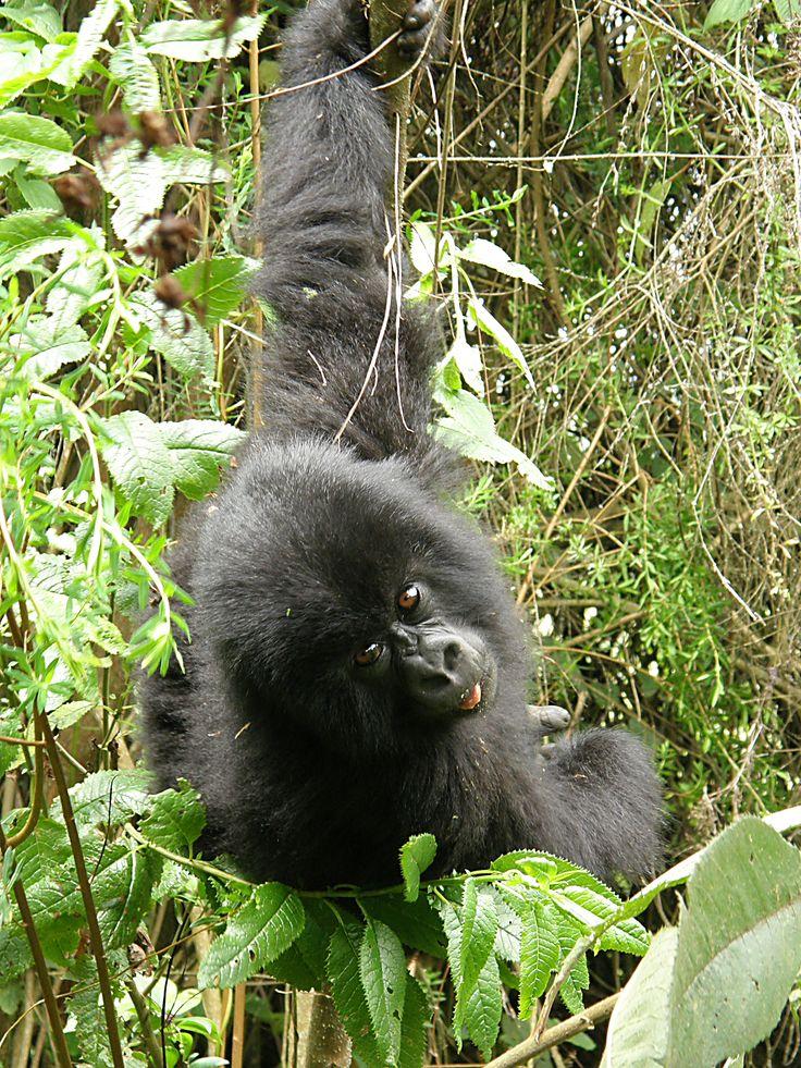 juvenile gorilla - photo by Tony Zegarchuk