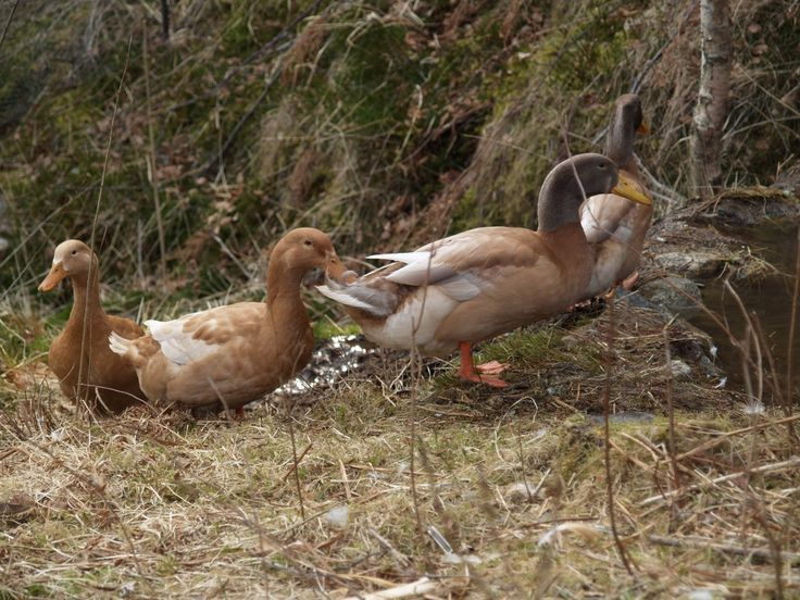 Our Orpington Ducks on their way to their little pond in the stream. March 11th 2016
