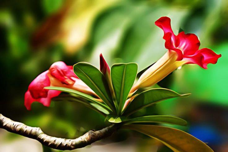 #flower #adenium #tadaa #tadaaslr #icolorama