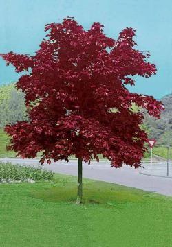 Erable pourpre 'Crimson King' - Extra
